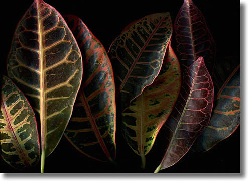 LAURIE TENNENT CROTON LEAVES