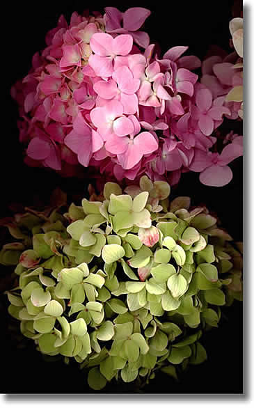 LAURIE TENNENT HYDRANGEA