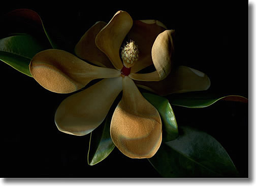LAURIE TENNENT MAGNOLIA