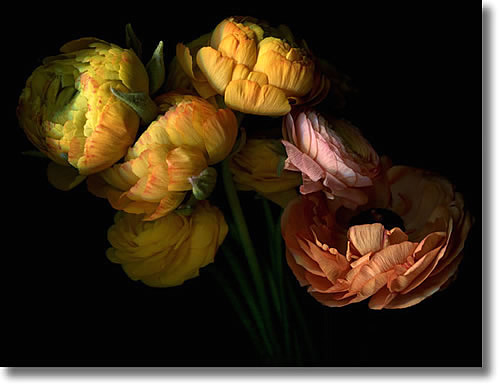 LAURIE TENNENT RANUCULUS