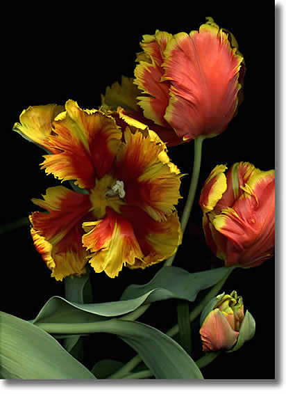 LAURIE TENNENT TULIPS