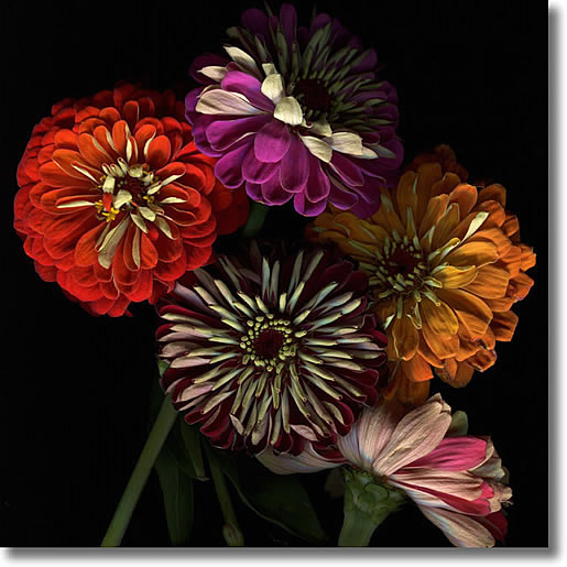 LAURIE TENNENT ZINNIAS