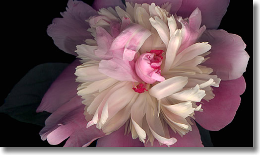 LAURIE TENNENT - PEONY